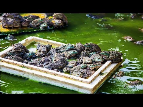 Asian Frog Farming - How To Frog Farming Step By Step