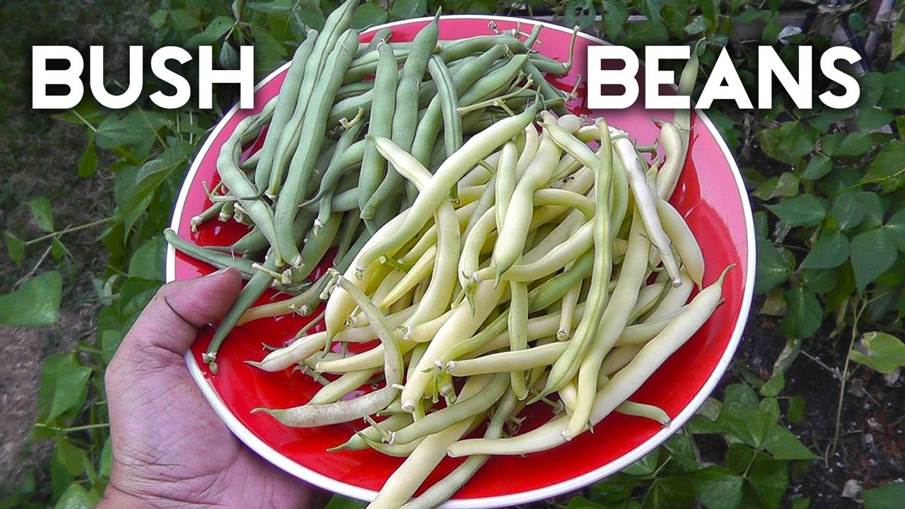 Growing bush beans in containers - Bush Beans Top Crop Tendergreen Improved Yellow Wax Beans