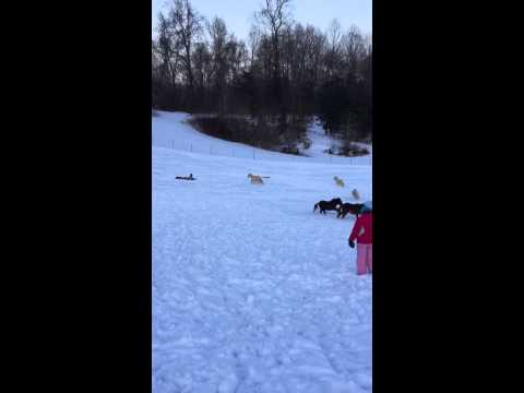 Sledding with Miniatures Feb 2015