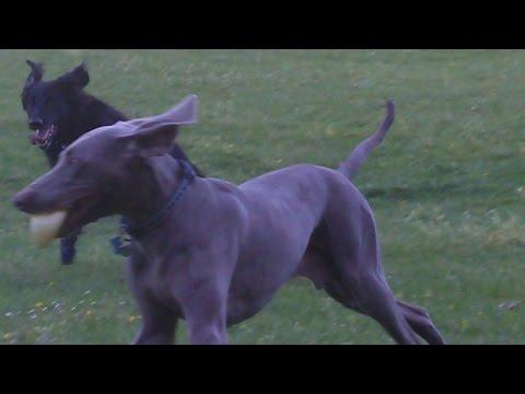 Weimaraner Sebastian & Merry Flat Coat Retriever  at A & B Dogs Boarding & Training Kennels.