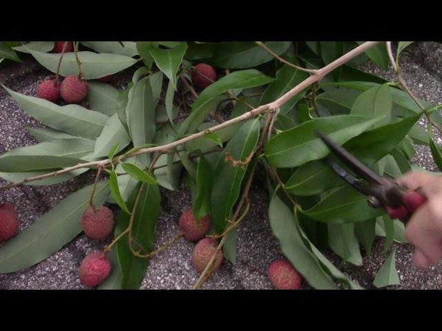 Quanh nhà ở Mỹ: Hai Trai Vai Cay Day Trai 2 Cay Giai Nho Xiu Xiu Xiu Lychee Fruits 73T| Cay An Trai