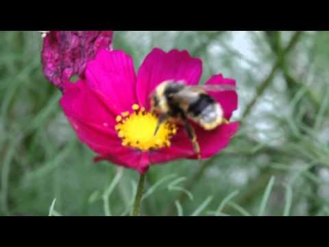 Hummel  (Bombus) auf Blüte II