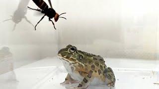 WARNING LIVE FEEDING!! African Bullfrog Vs. Hornet.