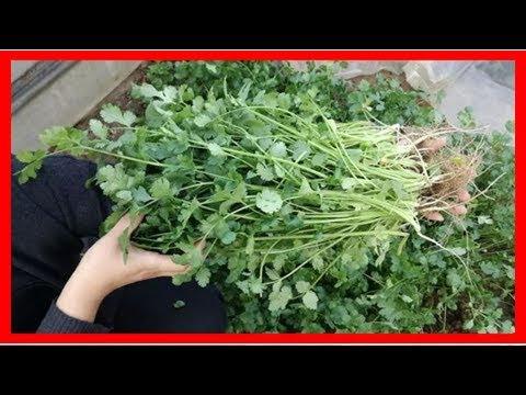 學會這招「保存香菜」,就能讓你吃上一整年…再也不怕花高價買了!