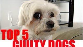 Top 5 Guilty Dogs