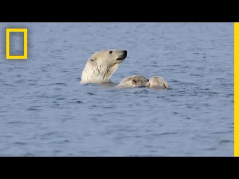 "Polar Bears Practice ""Porpoising"" | National Geographic"