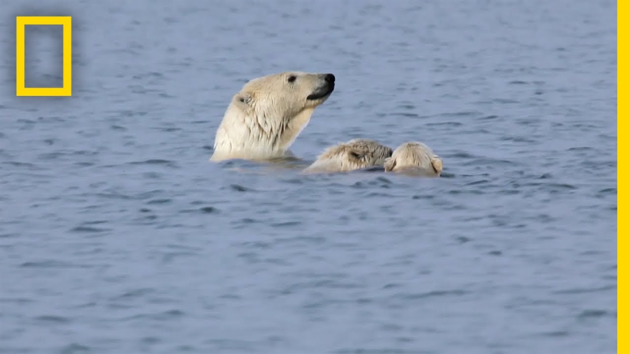 Polar Bears Practice Porpoising | National Geographic