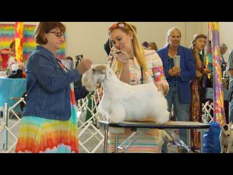 Our Kitty Sealyham Terrier Breed Competition CCCKC WoofStock 2017