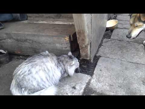 Вопрос: Зачем и почему собаки гоняют кошек?
