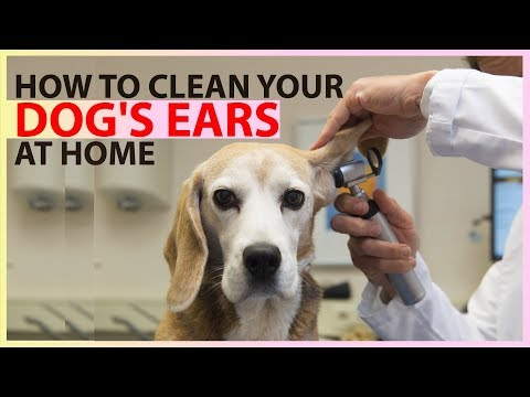 Dog Ear Infections !! How to Clean a Dog's Ears !! Dog Health Tips 2018