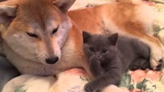 柴犬×子猫。可愛すぎる組み合わせ!
