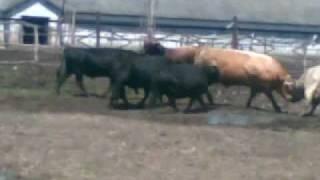 Бой быков .mp4