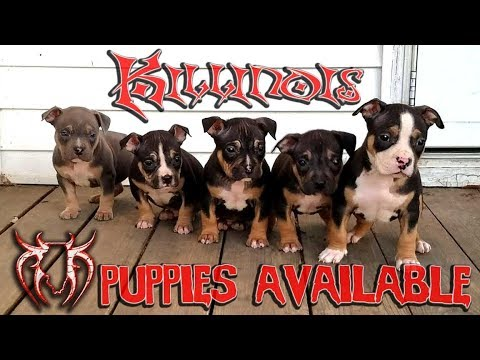 AMERICAN BULLY PUPS FOR SALE FROM THE WORLD FAMOUS KILLINOIS KENNELS ,ALL TRI COLORED AMERCIAN BULLY