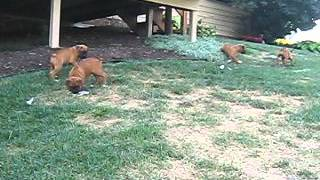 Boxer Puppies For Sale In Pennsylvania