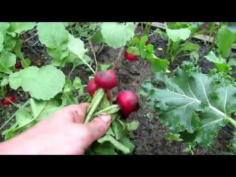 Introducing the 'Roxanne' Radish & 3 Tips for Large Radishes: Flower  & Vegetable Profiles