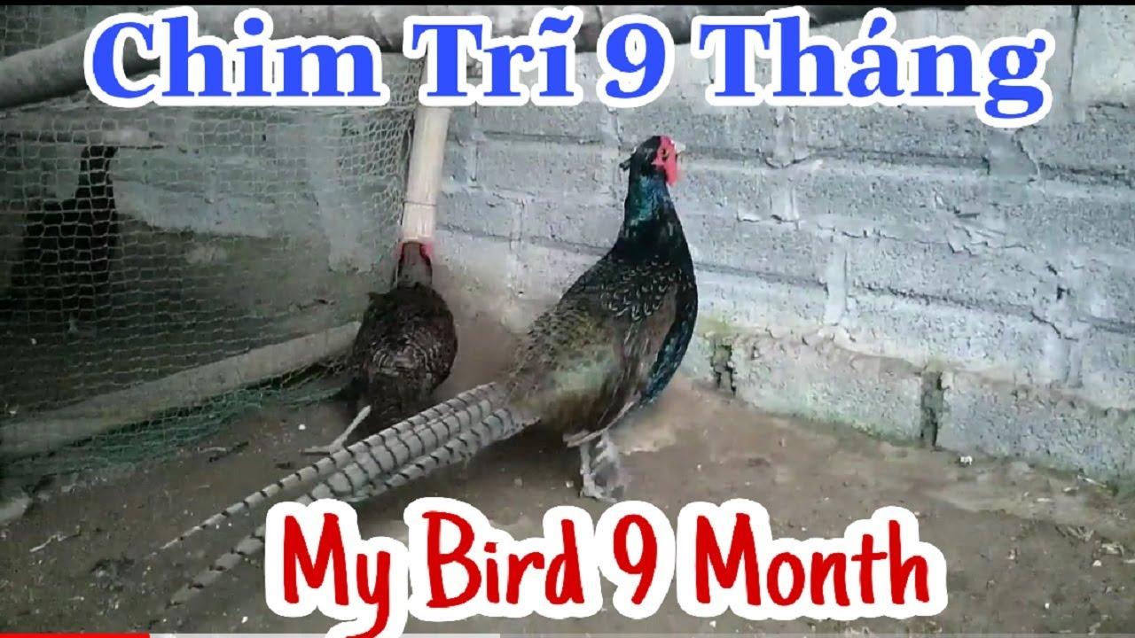 Chim Trĩ Xanh Sinh Sản Full Màu ở Trại Giống Hòa Bình | My Birds Beautyful Color At Hoa Binh Farm.