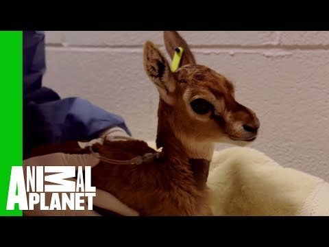 Watch This Young Thomson's Gazelle Work Its Way To Health | The Zoo