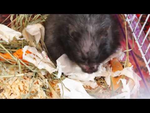 видео: Чернуха рожает. Роды сирийского хомяка