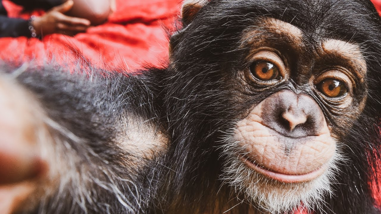 Chimpanzees Eat 5 Course Meal!