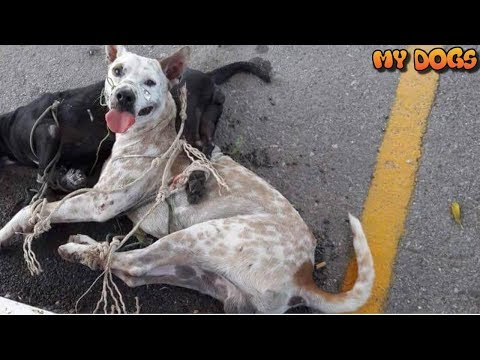Rescue Stray Dogs Be Tied & Left In The Hot Sun by Order Of Military Officer Now Safe