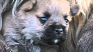 Cairn Terrier Welpen Von Der Scheerhorner Haar
