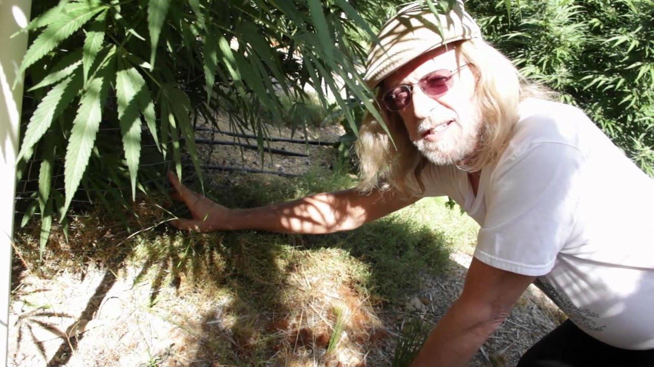 Конопля выращивание хорхе сервантес блюдо из конопли