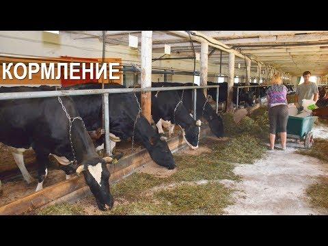КОРМЛЕНИЕ МОЛОЧНОГО КРС.  Фермерское хозяйство Овсянникова.