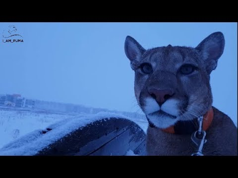 Need a cougar