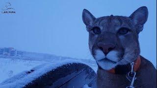 Снегопад. Нужен снегоход для пумы! Snowfall. We need a snowmobile for the cougar!