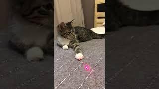 Маленькая манул Нюшенька 3,5 месяца ищет свой дом в добрые руки