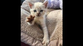 Счастливый случай помог котенку с парализованными лапками стать счастливым (2019)