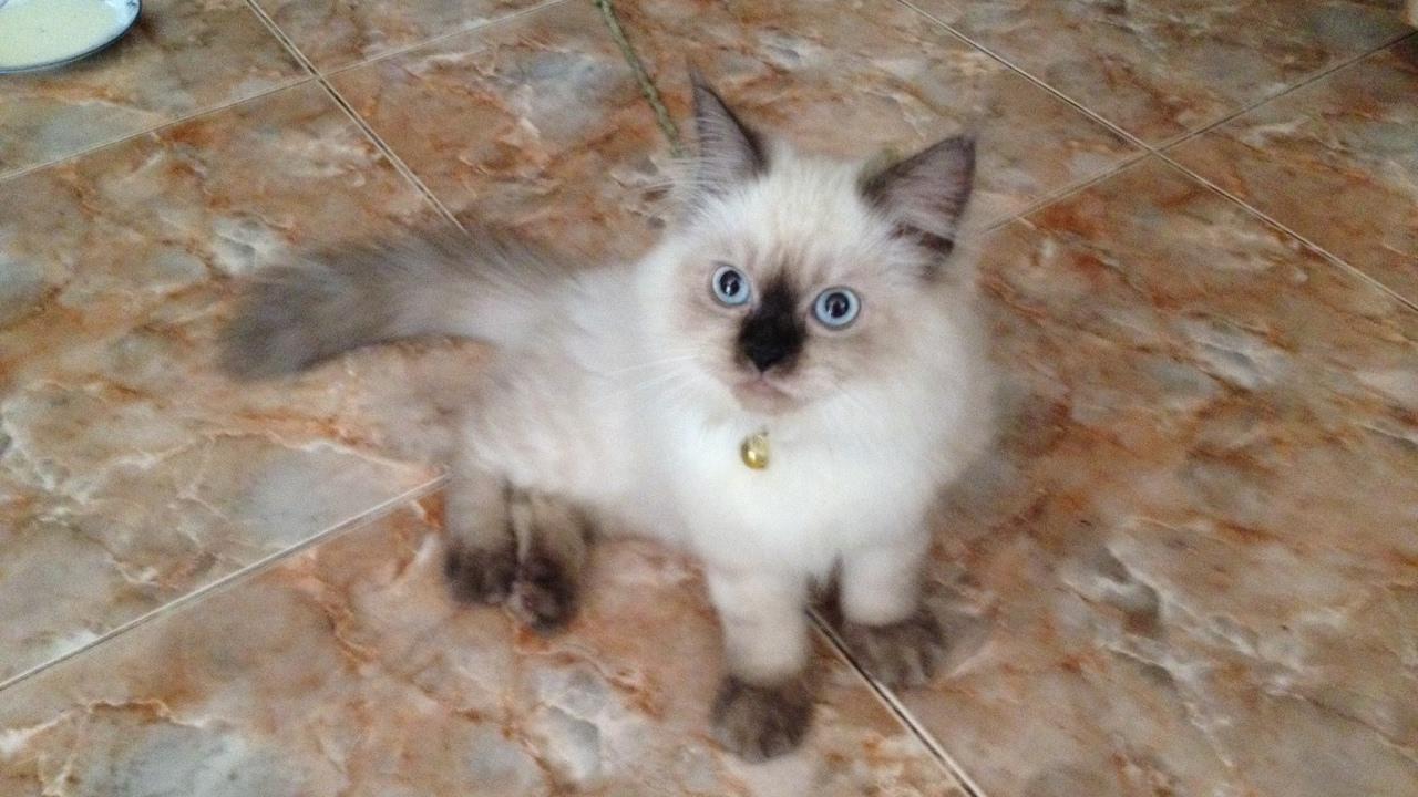 Persian Cat In Sri Lanka Youtube