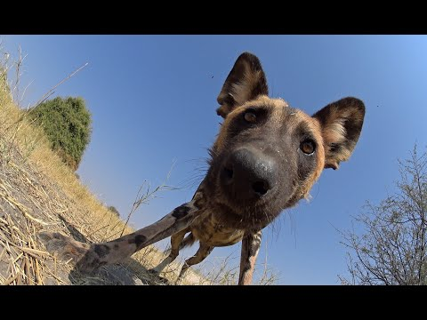 Robotic Spy Pup Takes Cover As Lion Attacks Wild Dogs!