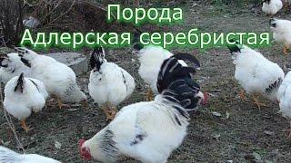 Адлерские серебристые куры / Кормление домашних кур // Отзывы о породе
