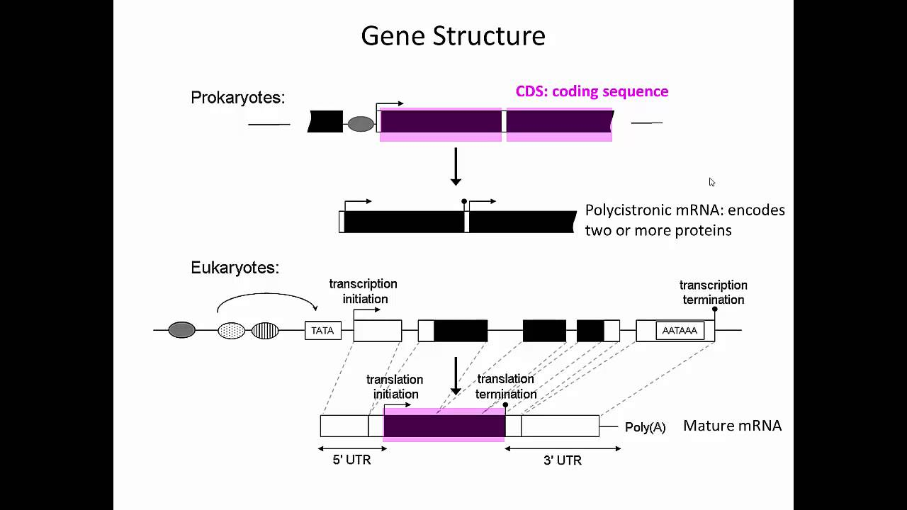 Gene Structure Youtube