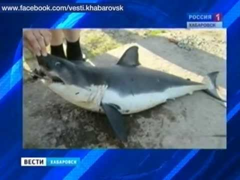 Вести-Хабаровск. Акулам не по зубам