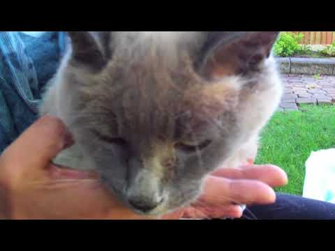 Cat Purring In the Lap - Half Siamese Cat 16 Years Old