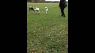 Dalmatian Takes On A Great Dane