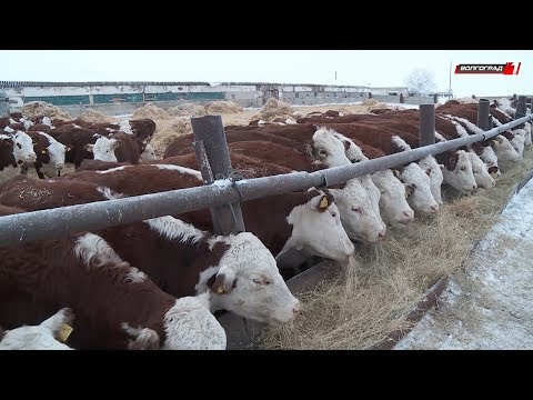 В Палласовском районе разводят необычную породу крупного рогатого скота