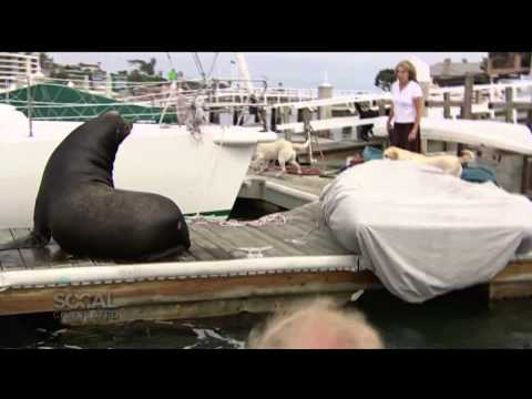 Growing Sea Lion Population A Nuisance For Some Port Town Residents