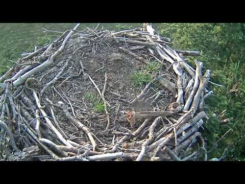 Glaslyn Ospreys Live