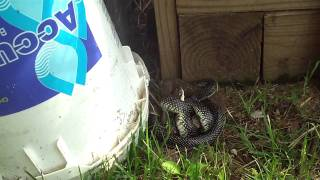 King Snake Vs. Copperhead Pt. I