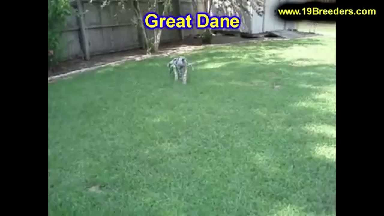 Great Dane For Sale Craigslist - Best Car News 2019-2020 by