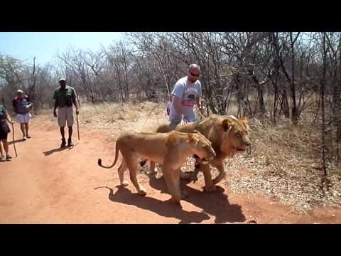 Walking with Lions in Africa - Zambia