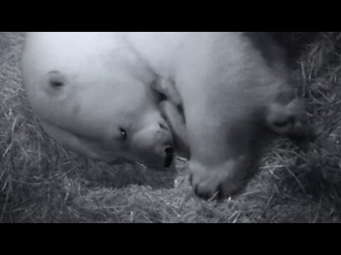 The Only Female Polar Bear In Australia Gives Birth To Twin Cubs