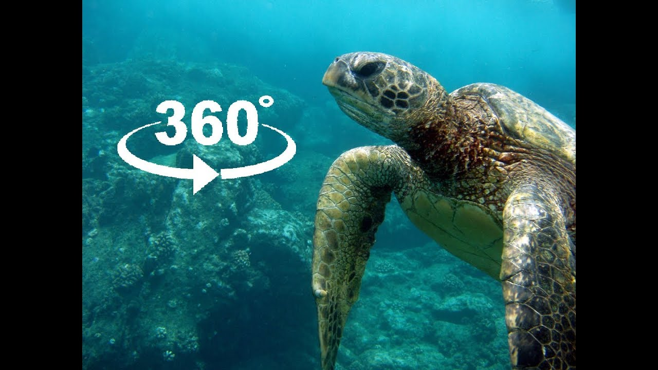 Virtual Reality Green Sea Turtle in 360° VR 4K