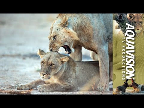 African Lion And Female Bushveld Courtship | HD Stock Footage