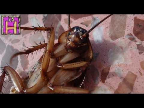 Gli scarafaggi 39 mutanti 39 che rifiutano lo zucchero e i doovi - Da dove vengono gli scarafaggi in casa ...