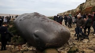 Three dead sperm whales wash up near Skegness