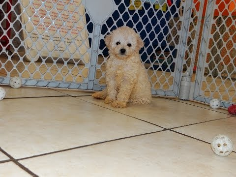 Toy Poodle, Puppies, Dogs, For Sale, In Atlanta, Georgia, GA, Savannah, Sandy Springs, Roswell